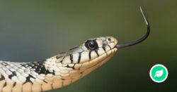 Hvorfor har slanger giftige tænder