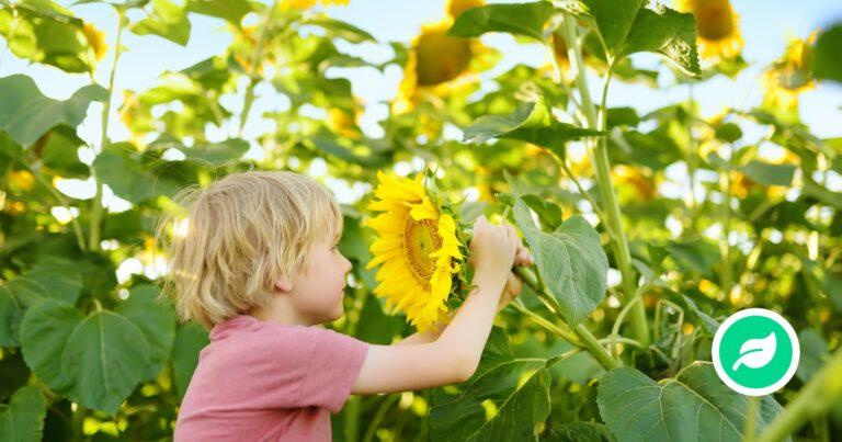 Hvorfor dufter blomster?